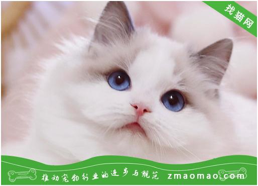 如何训练猫猫叼衔物品