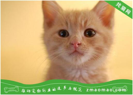 为什么不能养黄猫 黄猫没人养的四大原因