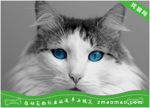 西伯利亚森林猫和缅因猫区别是什么