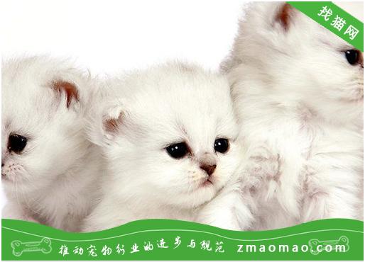 公猫和母猫哪个好 公猫好还是母猫好