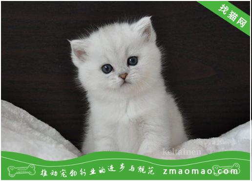 什么猫适合新手养 这些猫你一定会心动!