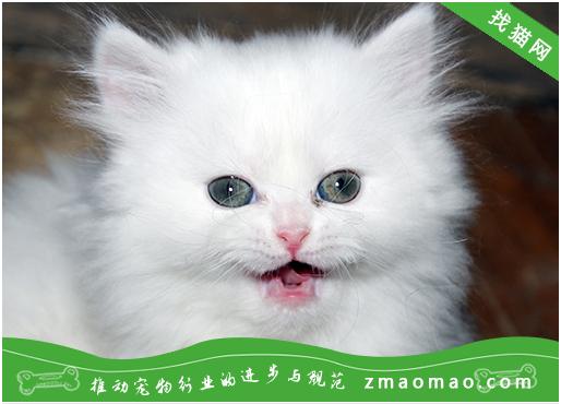 怎样购买到纯种猫猫 纯种猫购买技巧
