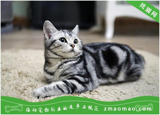 虎斑和银渐层会生出什么颜色的猫