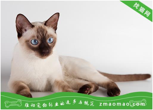 暹罗猫多少钱一只 暹罗猫价格图片