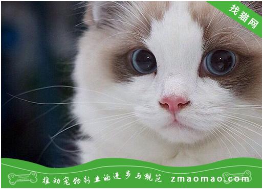 猫咪感冒怎么办?猫咪感冒的症状及治疗方法