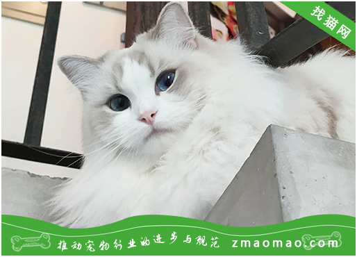 猫咪常见的耳朵疾病有哪些?晒伤、耳聋、耳炎等