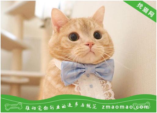 猫咪病毒性慢气管炎的病因及治疗方法