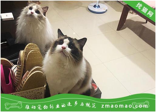 猫咪胃炎的症状判断及治疗方法