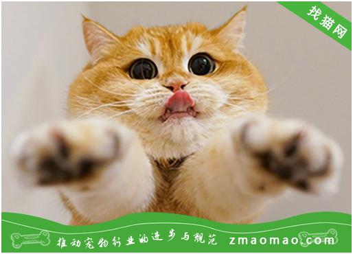 猫咪食道扩张的病因症状及治疗方法?暹罗猫常见遗传病