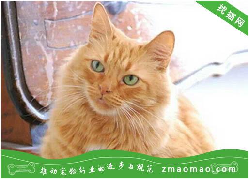 猫咪膀胱炎的症状及治疗方法