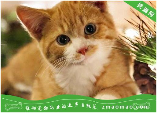 猫咪贫血的病因及治疗方法