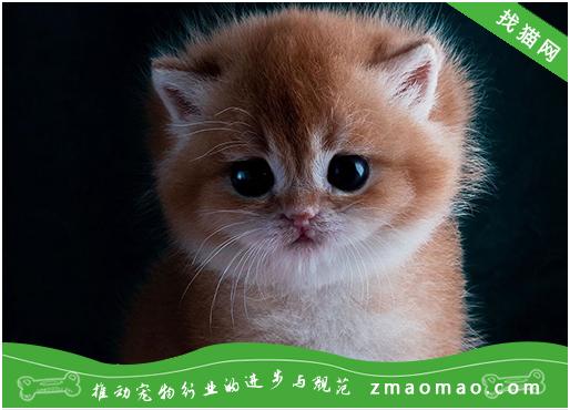 猫咪牙龈炎的病因症状及治疗方法