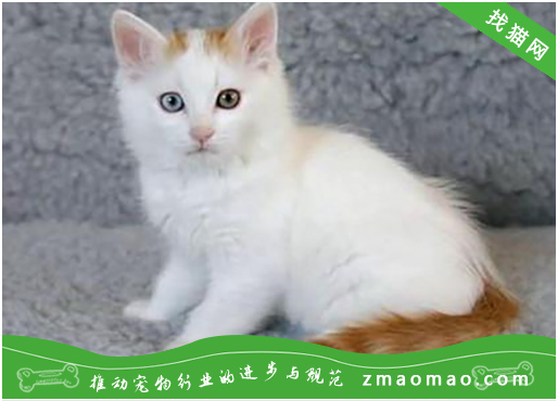 猫幽门阻塞有哪些症状?怎么治疗猫幽门阻塞