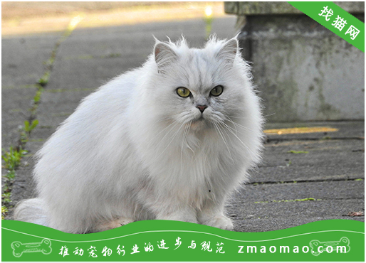 猫咪支气管肺炎的症状及治疗方法