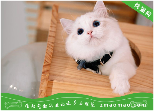猫咪鼻炎的治疗方法