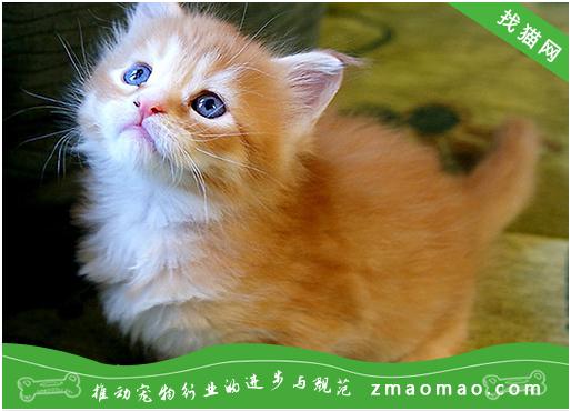 猫咪神经性皮炎的症状及治疗方法