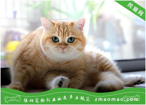 土耳其安哥拉猫遗传病:有很高的几率出现失聪