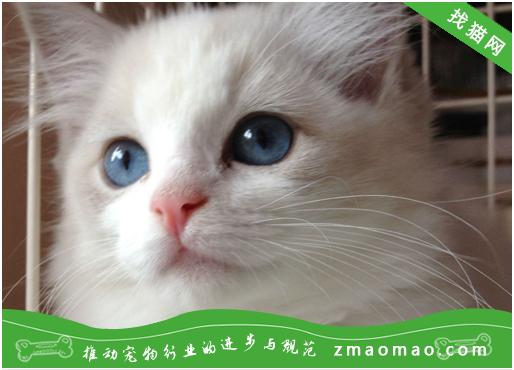 猫咪呼吸方面问题的诊断方法