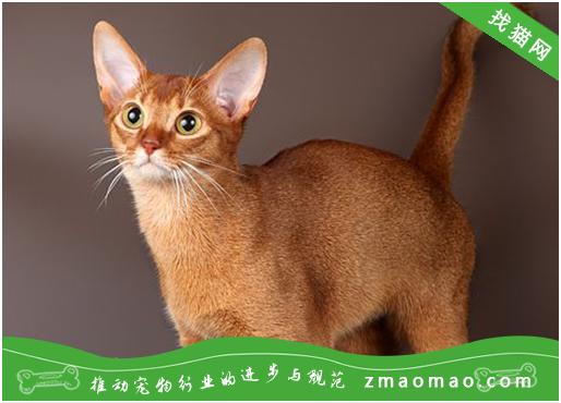 一些猫咪常见肿瘤病的表现临床鉴别诊断