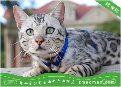 猫咪角膜溃疡的治疗方法及术后护理