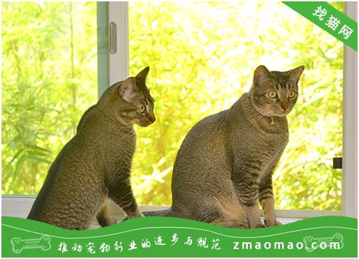 猫咪常见的眼部疾病的症状及治疗方法