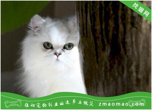 如何治疗猫咪粉刺?<a href=
