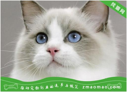 猫咪自发性膀胱炎的表现症状及治疗方法