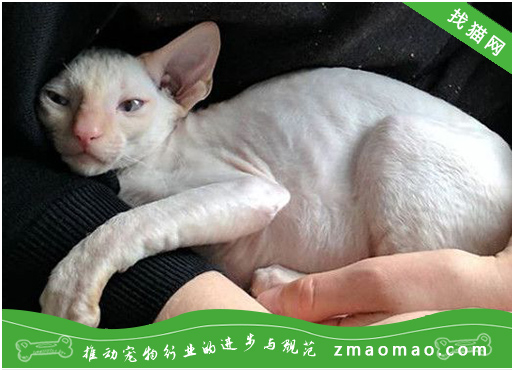 猫前庭综合症的症状及治疗(猫咪身体平衡失调的疾病)