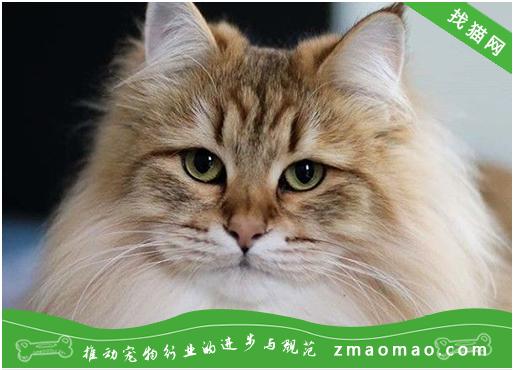 猫咪常见的先天性发育异常眼部疾病有哪些?