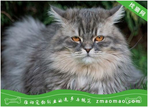 布偶猫排尿不畅是什么原因?尿道堵塞或尿道炎造成的