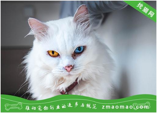 猫咪打呼噜的声音大该怎么办? 可能是肥胖、副鼻腔炎等