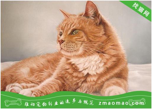 宠物猫之虎斑猫品种介绍 原产美国