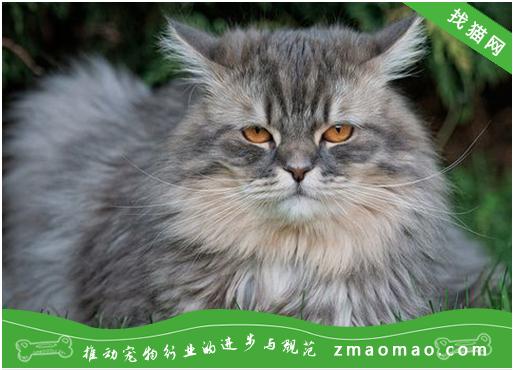 宠物猫之西伯利亚森林猫品种介绍