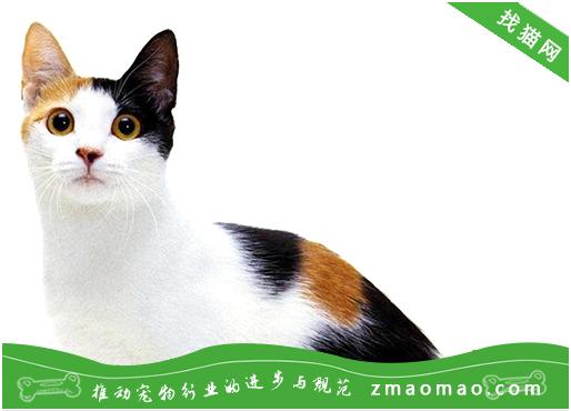 宠物猫之美国短尾猫品种介绍